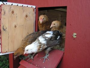 Chicken House Door with Ladder