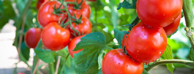 ho to grow tomatoes in containers
